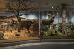 5_ULodzki_Sawanna-i-bor-borealny-diorama